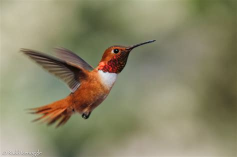rufous black chinned and calliope a hummer of a day