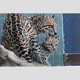 Ocelots Cubs   800 x 533 jpeg 317kB