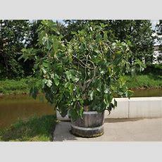 Immergrune Kubelpflanzen Als Sichtschutz Hausgartennet Startseite