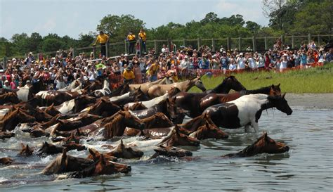 chincoteague ponies swim assateague pony island auction wild horses channel horse swimming va