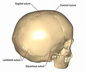 The Bones Of The Skull