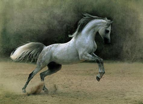 arabian horse famous horses arab stallion stallions wild stud hores most member