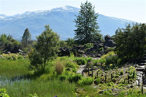 Botanischer Garten Tromsö by Arktisch Alpiner Botanischer Garten Troms 248 Schneeh 246 Rnchen