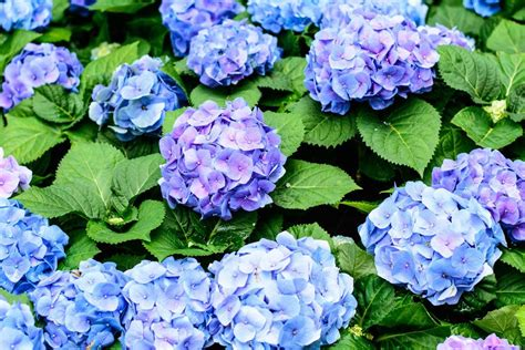 bluetezeit wann bluehen hortensien infos fuer  sorten