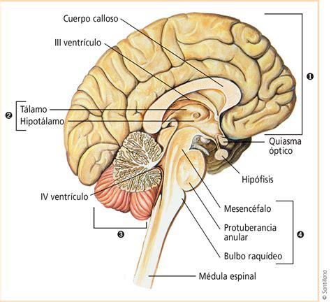la snc estructura y funciones snc sistema nervioso en los