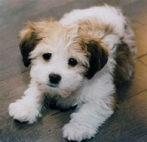 small non shedding dogs best small breeds non shedding laopaibet