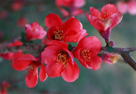 japanese flowers images red flower of the japanese flowering quince 169 2007 bceichma flickr