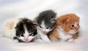 ragamuffin cat cats and kittens ragamuffin