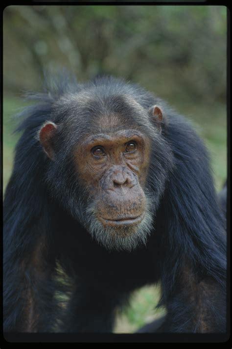 quotes  jane goodall chimpanzees quotesgram