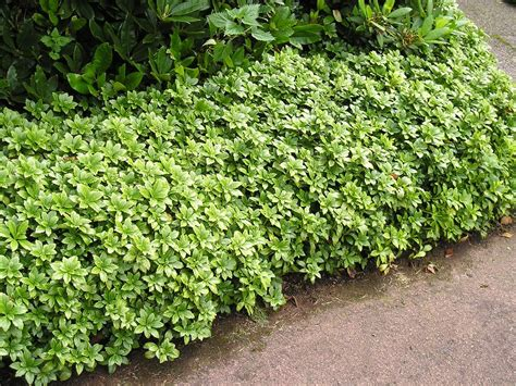 ground covering plants pachysandra growing zone information on pachysandra plant care