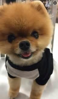Jiffpom Dog