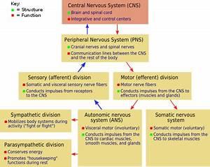 Nervous system - New World Encyclopedia