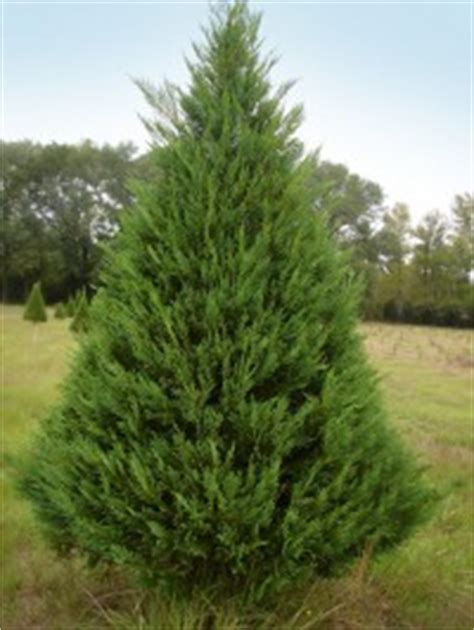 related keywords suggestions for leyland cypress christmas tree