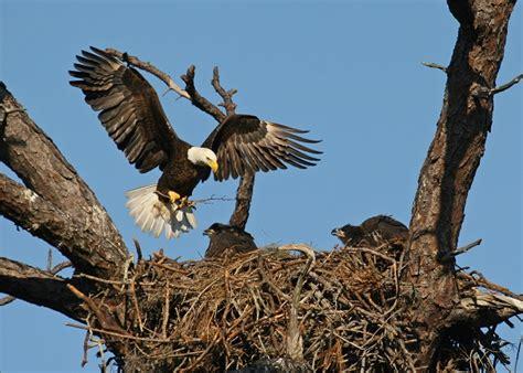 finigan the bald eagle earth rangers wild wire blog