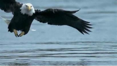 Giphy Eagle Bald Eagles Gifs Salmon Tweet