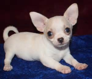 Teacup Chihuahua Puppies For Sale Online