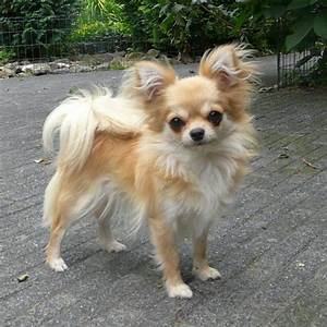 Best 25+ Long haired chihuahua puppies ideas on Pinterest ...