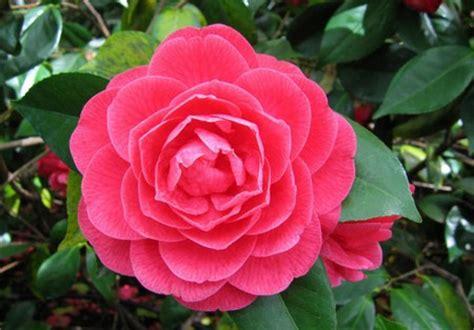 fiore della bellezza camelia il fiore della bellezza perfetta pollicegreen
