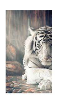 White Tiger, Sleeping, 4K, #4.568 Wallpaper