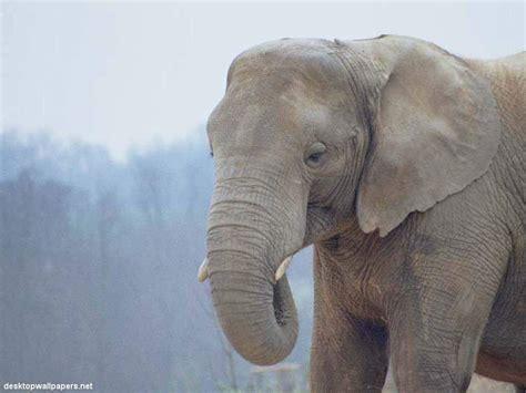 white elephant animals wallpapers elephant wallpaper