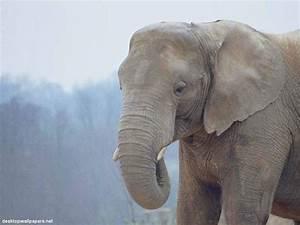 Animals Wallpapers: elephant wallpaper