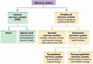 Nervous System  Diagram  Function  U0026 Diseases  U2013 Studiousguy
