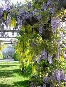 Kletterpflanzen Immergrün Winterhart : kletterpflanzen rankpflanzen schlinger als sichtschutz ~ Michelbontemps.com Haus und Dekorationen