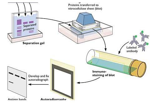 baixar de video western blotting protocol