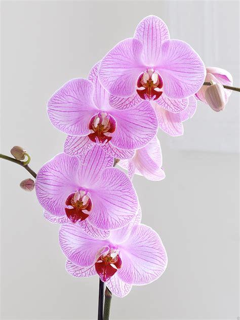 phalaenopsis orchid pink phalaenopsis orchid