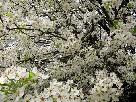 tree white blooms early white blossom trees spring www pixshark com images galleries with a bite