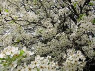 Best white flowering trees ideas and images on bing find what tree that blooms white flowers mightylinksfo