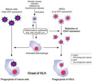 engulfment  hematopoietic stem cells caused