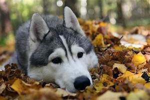 These 12 Most Beautiful Huskies Will Make You A Better Person