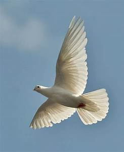 446 best Dove images on Pinterest | Animals, White doves ...