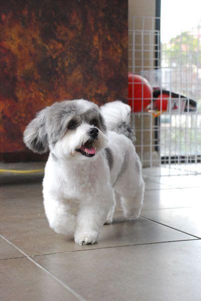shih tzu grooming style   bichon frise dog