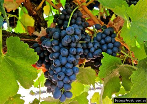 grape plant pictures grape vine vitus vinifera