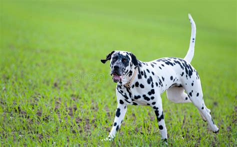 dalmatian spotty dog  spotty ball stock photo image