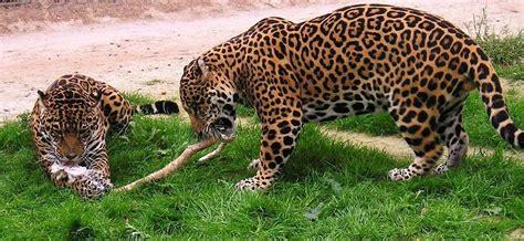 Jaguar  Rio Safari Elche