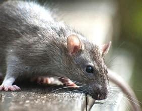 Sie Wollen Ratten Bekämpfen? Anleitung Zur Rattenbekämpfung
