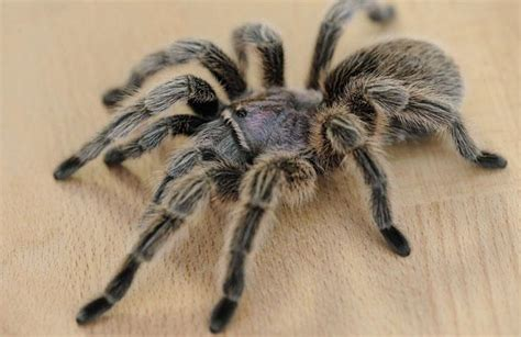 cuisine du nord lille des araignées géantes et agressives terrorisent un