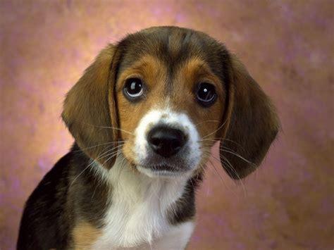 beagle puppy dog hound dogs wallpaper  fanpop