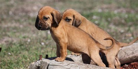 dogs that dont shed bloodhound 17 low shed dogs small 10 healthiest breeds