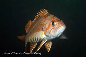 Rockfish Gallery