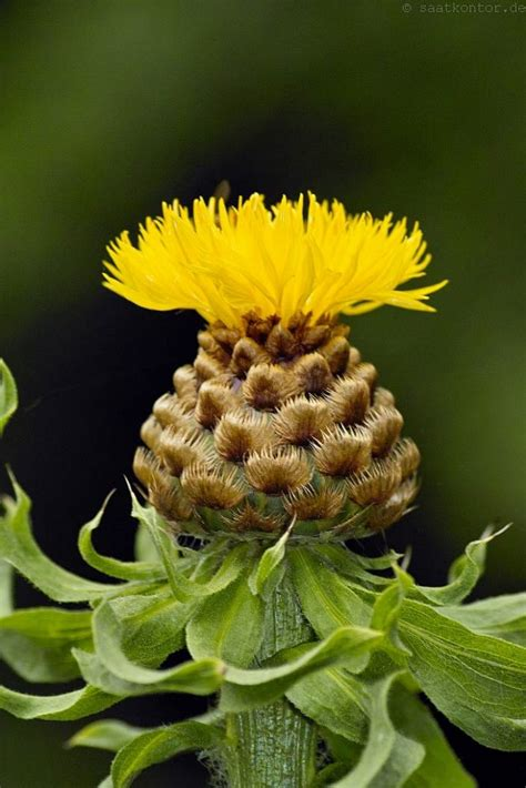 samen saatgut gelbe riesen flockenblume centaurea