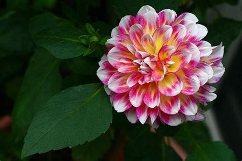 how to take care of dahlias in a pot how to grow and care for the dahlia flower in containers plants pinterest dahlia flower
