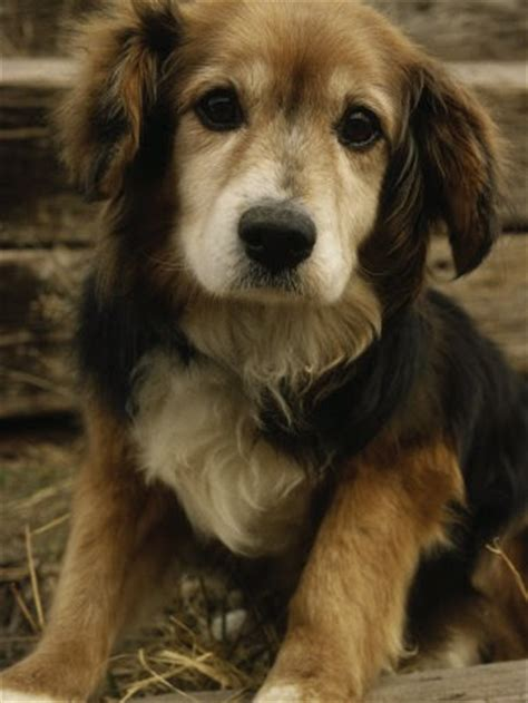 great reasons  choose  mixed breed dogpictures  dogs    dog