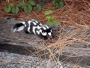 skunk., we called them civic cats we I was a kid. I don't ...