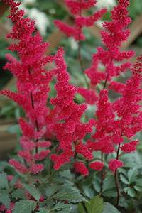 fanal astilbe astilbe x arendsii 39 fanal 39 in inver grove