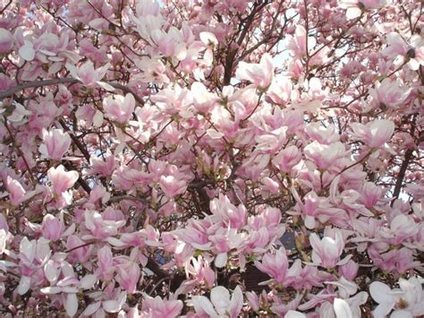 flowering trees pink blossoms 99 best images about think spring on pinterest