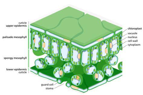 chloroplast wikipedia